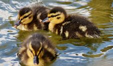 Free Duck, Bird, Ducks Geese And Swans, Water Bird Royalty Free Stock Image - 100775646