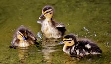 Free Duck, Bird, Water Bird, Ducks Geese And Swans Stock Images - 100775844