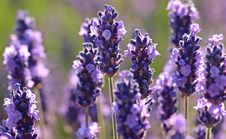 Free Flower, English Lavender, Lavender, Plant Royalty Free Stock Photo - 100776255