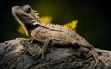 Free Reptile, Lizard, Scaled Reptile, Fauna Royalty Free Stock Image - 100776306