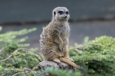 Free Meerkat, Mammal, Fauna, Terrestrial Animal Stock Photos - 100776323