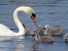 Free Swan, Bird, Water Bird, Ducks Geese And Swans Stock Photo - 100776460