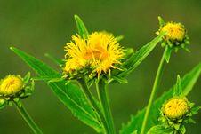 Free Flower, Sow Thistles, Dandelion, Golden Samphire Stock Images - 100776504