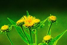 Free Flower, Sow Thistles, Organism, Plant Royalty Free Stock Photo - 100776605