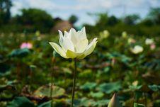 Free Flower, Lotus, Plant, Sacred Lotus Stock Photography - 100778182