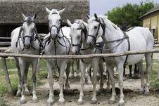 Free Horse Harness, Horse, Horse Like Mammal, Horse Tack Royalty Free Stock Photo - 100778585