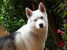 Free Dog, Dog Like Mammal, Dog Breed, Siberian Husky Stock Photo - 100778710