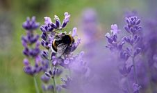 Free Lavender, English Lavender, Purple, Flower Royalty Free Stock Photos - 100778838