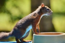 Free Fauna, Mammal, Squirrel, Rodent Stock Photography - 100778912
