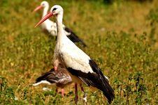 Free Stork, White Stork, Bird, Ciconiiformes Stock Images - 100778974