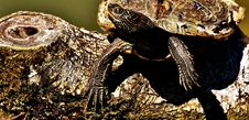 Free Reptile, Emydidae, Terrestrial Animal, Toad Royalty Free Stock Photography - 100779037