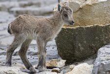Free Goats, Fauna, Wildlife, Mountain Goat Royalty Free Stock Image - 100779066