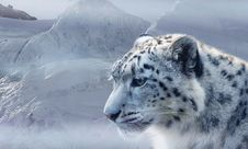 Free Snow Leopard, Wildlife, Mammal, Cat Like Mammal Stock Photos - 100779243
