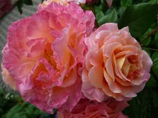 Free Rose, Flower, Rose Family, Pink Royalty Free Stock Photos - 100783348