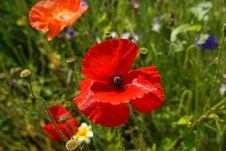 Free Flower, Wildflower, Poppy, Poppy Family Stock Image - 100784081