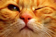 Free Cat, Whiskers, Face, Nose Royalty Free Stock Images - 100784309