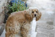 Free Dog, Dog Like Mammal, Dog Breed, Spaniel Royalty Free Stock Photo - 100784385