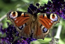 Free Butterfly, Moths And Butterflies, Insect, Brush Footed Butterfly Royalty Free Stock Image - 100789066