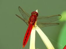 Free Insect, Dragonfly, Dragonflies And Damseflies, Invertebrate Stock Photo - 100789230