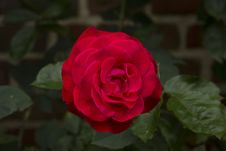 Free Rose, Flower, Rose Family, Red Stock Photography - 100792362