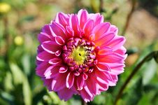 Free Flower, Pink, Flowering Plant, Plant Stock Photography - 100792442