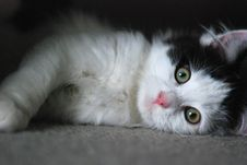 Free Cat, Whiskers, Mammal, Small To Medium Sized Cats Stock Image - 100792601