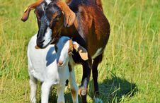 Free Goats, Goat, Pasture, Grazing Royalty Free Stock Photos - 100797218
