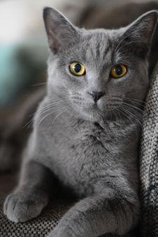 Free Cat, Mammal, Small To Medium Sized Cats, Cat Like Mammal Royalty Free Stock Photos - 100797428