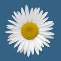 Free White Camomile (clipping Path) Royalty Free Stock Photography - 10080737