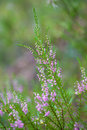Free Heather Field Background Royalty Free Stock Images - 10081029