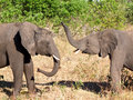 Free Playing Elephants At Chobe National Park Royalty Free Stock Image - 10081066