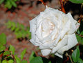 Free Morning Dew On The Blooming Rose - Flower Royalty Free Stock Image - 10088546