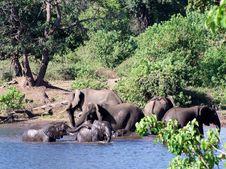 Elephants At Chobe National Park Stock Photography