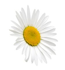 Free White Camomile (clipping Path) Royalty Free Stock Image - 10080746