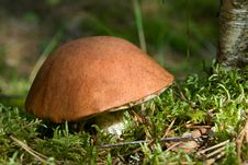 Free Orange Cap Mushroom Royalty Free Stock Images - 10080989