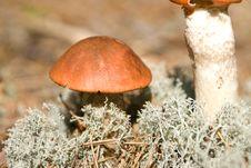 Free Orange Cap Mushroom Stock Images - 10081004
