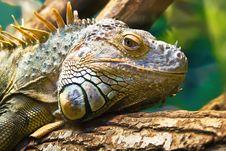 Free Iguana Stock Image - 10081221