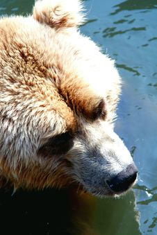 Free Bear Stock Photography - 10081462