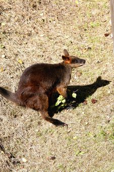 Free Kangaroo Royalty Free Stock Photo - 10081505
