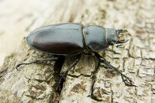 Free Feamale Stag Beetle Royalty Free Stock Photo - 10083485