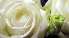 Free Rose Stock Photo - 10084190