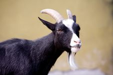 Free Year Of A Goat Stock Photography - 10085952
