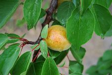 Free Apricot Branch Stock Image - 10086471