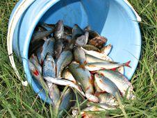 Free A Bucket Of Fish Royalty Free Stock Photos - 10088178