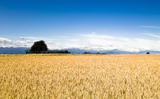 Free Wheat Ears Landscape Stock Image - 10088661