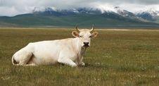 Free White Cow Stock Photo - 10089120