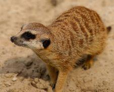 Free Meerkat, Mammal, Fauna, Terrestrial Animal Stock Photos - 100829163