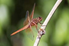 Free Dragonfly, Insect, Dragonflies And Damseflies, Invertebrate Stock Photos - 100829393