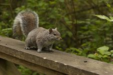 Free Squirrel, Fauna, Mammal, Rodent Royalty Free Stock Photos - 100832058