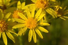Free Flower, Yellow, Flora, Golden Samphire Royalty Free Stock Photo - 100832305